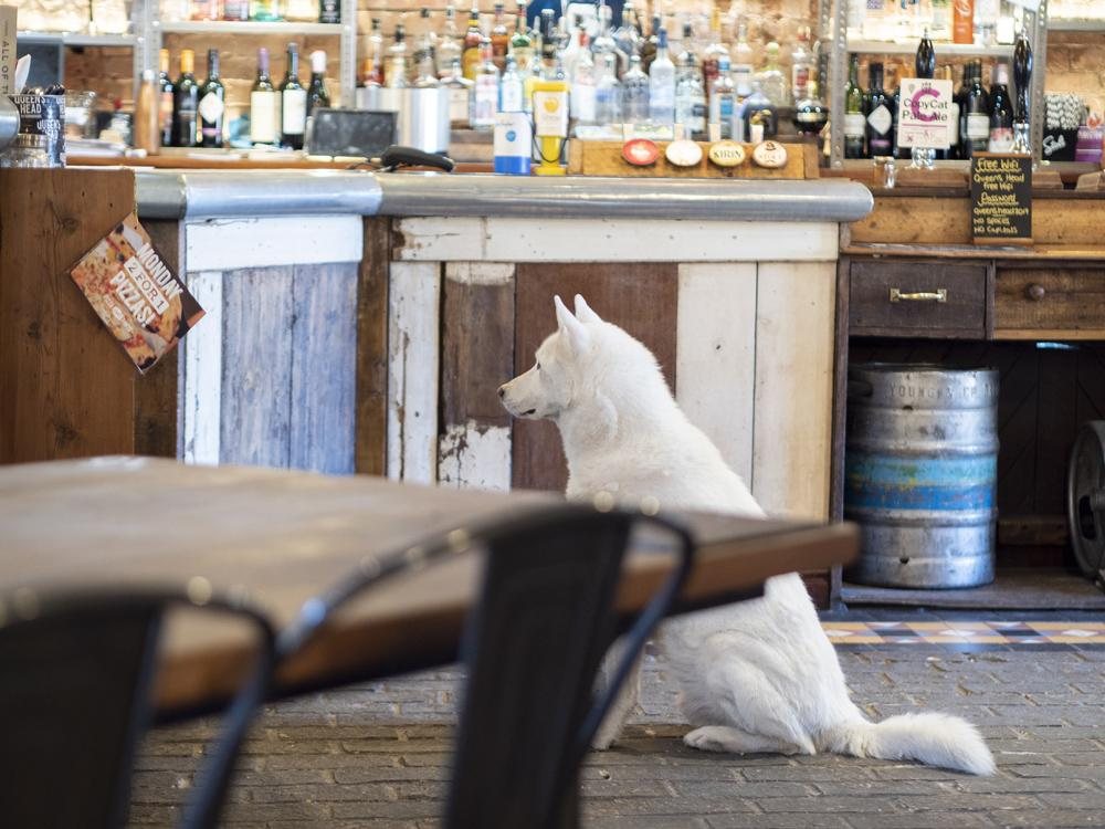 The Queen's Head Peterborough - a white dog sitting patiently at the bar!